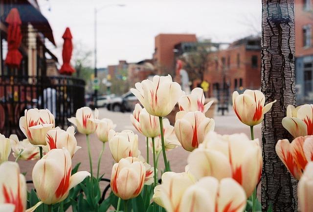 Boulder tulips