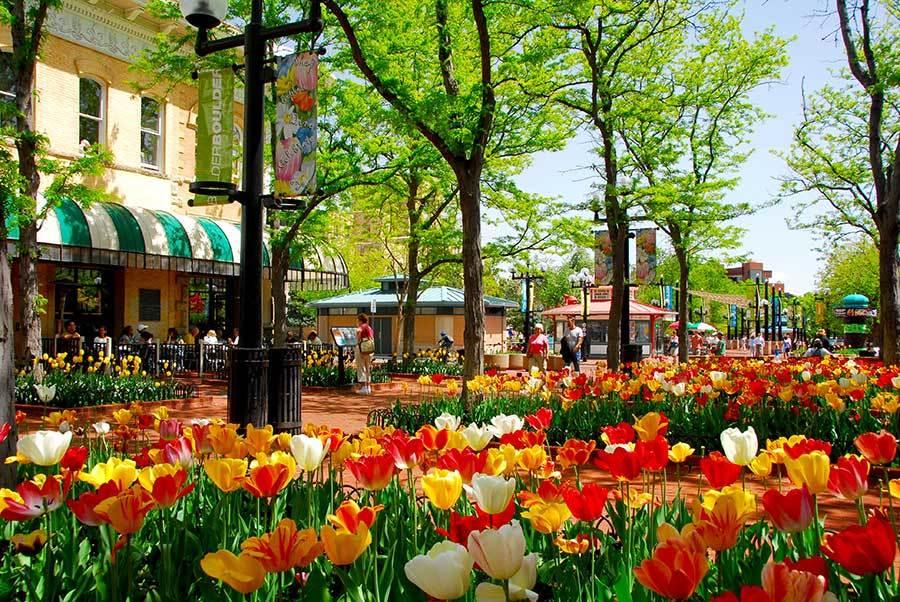 Tulips on Pearl Street