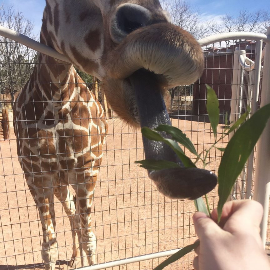 Feeding a giraffe at the Denver Zoo