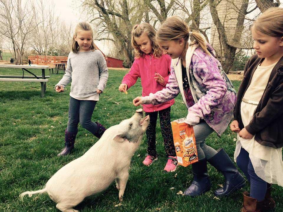 Feeding a pig